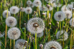 Dandelion in the morning sunlight Royalty Free Stock Photos