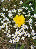 Dandelion in moss Stock Photography