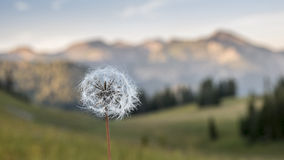 Dandelion in the Mountains. A dandelion with the mountains of Grand Teton National park in the background Royalty Free Stock Images