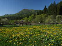 Dandelion in the mountains. A spring landscape in the Carpathian mountains, with dandelion meadows Royalty Free Stock Image