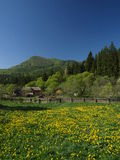 Dandelion in the mountains. A spring landscape in the Carpathian mountains, with dandelion meadows Stock Photo