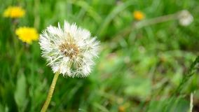 Dandelion. Moved by the wind stock video footage