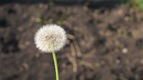 Dandelion moving around outdoors. Shot from hands, slow motion effect is used stock video footage