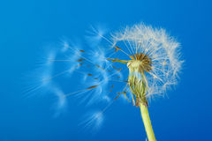 Dandelion with moving seeds on a blue background Stock Photo