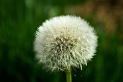Dandelion. In my garden sunny day Royalty Free Stock Images