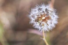Dandelion na łące Zdjęcie Stock