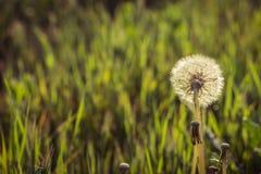 Dandelion na łące przy zmierzchem zdjęcia stock