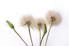 Dandelion na biały tle Zdjęcia Stock