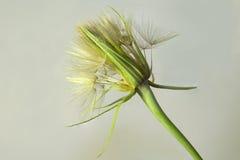 Dandelion na biały tle Obraz Royalty Free