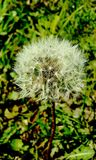 Dandelion na ??ce fotografia stock