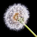 Dandelion na czarnym tle Fotografia Royalty Free