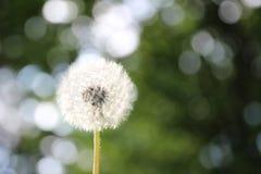 Dandelion na defocused bokeh i tle Fotografia Royalty Free