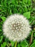 Dandelion na gazonie zdjęcia royalty free