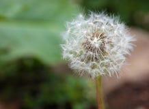 Dandelion na naturalnym zielonym tle Zdjęcia Stock