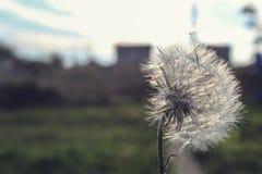 Dandelion na polu przy południem Obraz Royalty Free