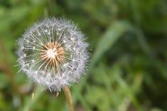 Dandelion na słonecznym dniu zdjęcie royalty free
