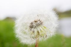 Dandelion na tle natura Fotografia Royalty Free
