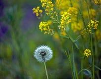 Dandelion na zamazanym tle na łące zdjęcie stock