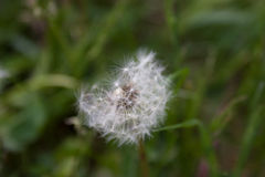 Dandelion na zielonej powierzchni Obrazy Royalty Free