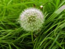 Dandelion na zielonej trawy tle Obrazy Royalty Free