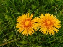 Dandelion na zielonej trawy tle Zdjęcie Royalty Free