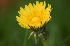 Dandelion na zielonym tle Zdjęcie Stock