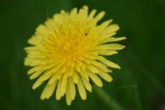 Dandelion na zielonym tle Zdjęcie Royalty Free