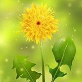 Dandelion na zielonym zamazanym tle z błyska Obrazy Royalty Free