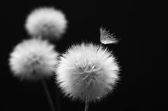 Dandelion na zmroku fotografia stock