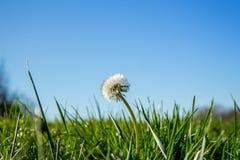 Dandelion nad niebieskim niebem Obraz Royalty Free