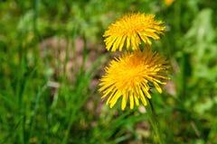 Dandelion nad zieloną trawą Fotografia Stock
