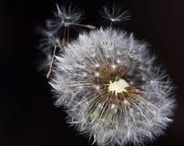 Dandelion - nasieniodajny kierowniczy agains wiatr Obraz Stock