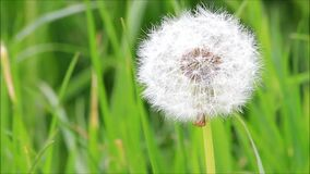Dandelion in the nature. Background grass stock video