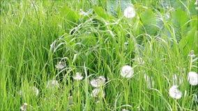 Dandelion in the nature. Between grass stock video
