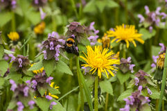 Dandelion, nettles and bumblebee Royalty Free Stock Image