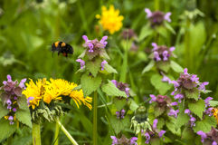 Dandelion, nettles and bumblebee Stock Photos