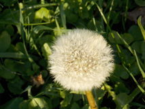 Dandelion. Nice and focused dandelion on field Royalty Free Stock Images