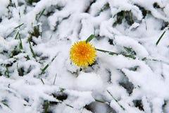 Dandelion śnieg Zdjęcie Royalty Free