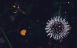 Dandelion at night Royalty Free Stock Photos
