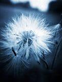 Dandelion no jest finicky kwiatu zdjęcia stock