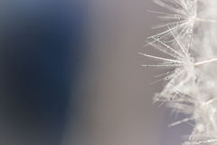 Dandelion note. Soft fluffy seeds of a dandelion with reflective water droplets on a blurred blue and gray background, with space for text Stock Photo