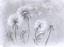 Dandelion ołówka grafika Obraz Stock