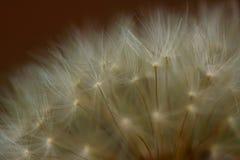 dandelion obsiewanie Obraz Royalty Free