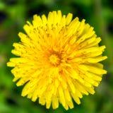 Dandelion od wierzchołka, zamyka up, makro- kwiat Zdjęcia Royalty Free