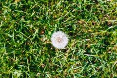 Dandelion Odgórny widok Zdjęcia Stock