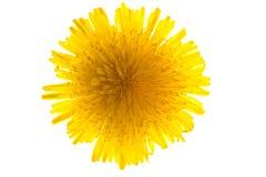 dandelion odizolowywający Zdjęcie Royalty Free
