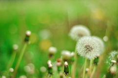 Dandelion Odizolowywający w zielonym tła lecie fotografia royalty free