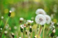 Dandelion Odizolowywający w zielonym tła lecie obrazy royalty free