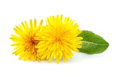 Dandelion officinale flower isolated stock image