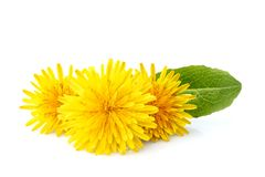 Dandelion officinale floweron. White background.Natural plant isolated stock photography
